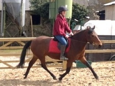 All Rounder horse - 6 yrs 13.3 hh Bright Bay - North Yorkshire