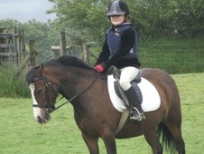 All Rounder horse - 7 yrs 11.2 hh Dark Bay - Dyfed