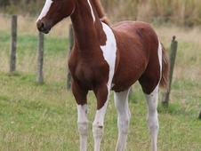 Super Quality Coloured Colt