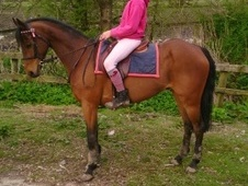Pony Club Ponies horse - 11 yrs 13.0 hh Bright Bay - Cumbria