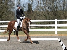 *open to offers* Registered Irish Draught Gelding, dressage/showi...