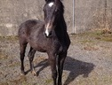Potential young sports horses horse - 1 yr 11 mths 16.0 hh Black