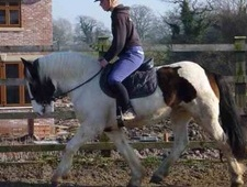 All Rounder horse - 9 yrs 14.2 hh Skewbald - Cheshire