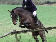 All Rounder horse - 6 yrs 4 mths 14.0 hh Bay - Gloucestershire
