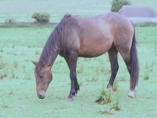 Hunters horse - 5 yrs 2 mths 15.2 hh Dark Bay - Wiltshire