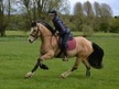 All Rounder horse - 14 yrs 14.3 hh Dun - Cambridgeshire