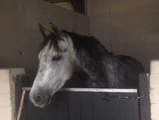 Connemara 14. 2hh 6 year old sweet all rounder
