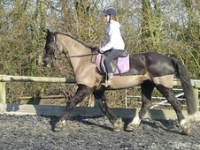 All Rounder horse - 10 yrs 15.2 hh Black - Kent