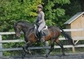 Dressage horse - 16 yrs 5 mths 15.3 hh Dark Bay - Devon