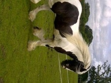 Cobs horse - 3 yrs 10 mths 14.2 hh Coloured - Cheshire