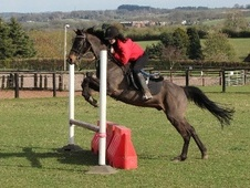 All Rounder horse - 15 yrs 14.0 hh Dark Bay - West Midlands