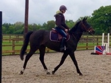 All Rounder horse - 4 yrs 15.2 hh Dark Bay - Surrey