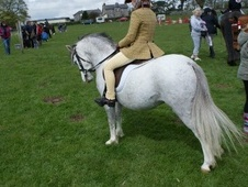 Lead Rein & First Ridden horse - 6 yrs 11.2 hh Grey - Clwyd