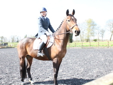 16hh Stunning Bay Mare KWPN