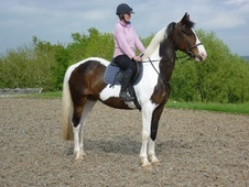 All Rounder horse - 7 yrs 2 mths 17.0 hh Skewbald - Gloucestershire
