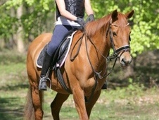 All Rounder horse - 8 yrs 15.1 hh Chestnut - Lincolnshire