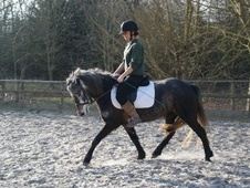 All Rounder horse - 5 yrs 13.2 hh Iron Grey - Surrey