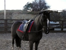 Pony Club Ponies horse - 13 yrs 12.2 hh Black - Clwyd