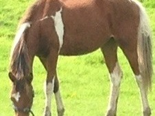 Stunning Tri Coloured Filly Yearling To Make Approx 14 H