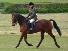 Riding Club Horses/Ponies horse - 11 yrs 16.0 hh Bay - Cheshire