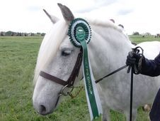 Registered Fell Pony Mare