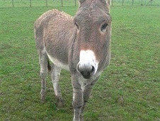 Donkeys horse - 7 yrs 12.2 hh Grey - Surrey