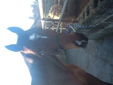 Lovely Tb Gelding For Sale !
