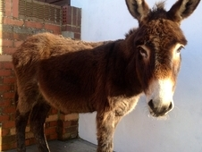 Jenny And Gelding Jack Donkeys For Sale
