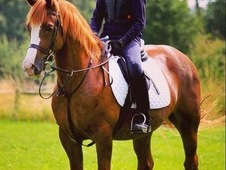 Handsome 14. 1 Section D Gelding
