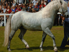 Connemara Class1 Stallion Cifton Winner