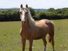 Smart show quality palomino welsh cob section d rising 3 colt wit...