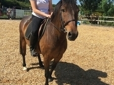 13.3 Welsh Part Bred Gelding