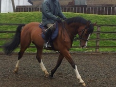 All Rounder horse - 7 yrs 15.1 hh Bright Bay - Northamptonshire