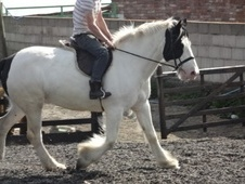 Family horse - 8 yrs 1 mth 15.3 hh Pintaloosa - West Yorkshire