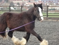 Young Stock  horse - 2 yrs 15.1 hh Black - West Yorkshire