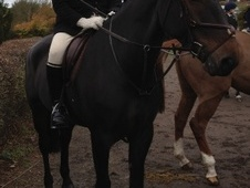 All Rounder horse - 10 yrs 17.1 hh Dark Brown - Buckinghamshire