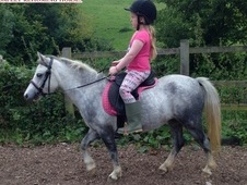 Echo, 11h, Part Bred Welsh Sec A, 4 years, Mare - Dorset