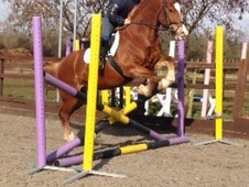 For Sale 15. 1h Rising 5 Pure Bred Welsh Section D Gelding