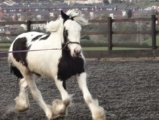 Cobs horse - 2 yrs 15.1 hh Piebald - West Yorkshire