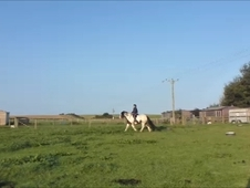 15. 2hh 17 Yrs Quiet Cob Gelding **reduced** £1, 800