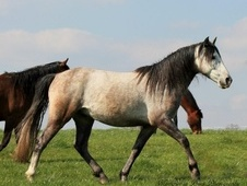 All Rounder horse - 5 yrs 16.0 hh Grey - Derbyshire