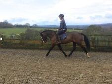 15h 5yrs Connemara Bay Gelding by Drumlin Warrior
