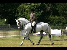 Cobs horse - 15 yrs 4 mths 16.1 hh Grey - Essex