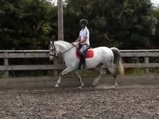 Gorgeous 15. 3hh Andalusian Pre Mare For Sale