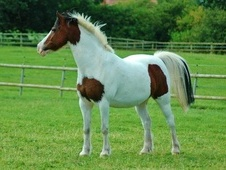 All Rounder horse - 17 yrs 9 mths 13.3 hh Coloured - Cheshire