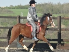 Lead Rein & First Ridden horse - 4 yrs 2 mths 11.1 hh Bright Bay ...