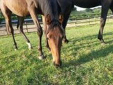 Yearlings To Make Over 16hh