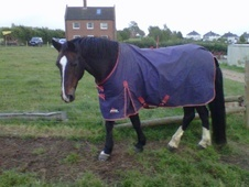 All Rounder horse - 19 yrs 1 mth 15.1 hh Bay - Gloucestershire
