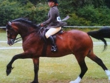 Mountain & Moorland horse - 8 yrs 4 mths 13.2 hh Bay - Essex