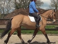 All Rounder horse - 4 yrs 5 mths 15.2 hh Dun - Dorset